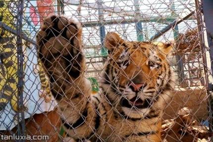 济南动物园景点:狮虎乐园