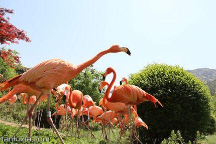 青岛森林野生动物世界景点:古巴火烈鸟