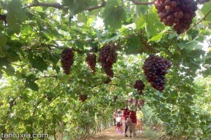 即墨金阳光生态园景点:葡萄采摘