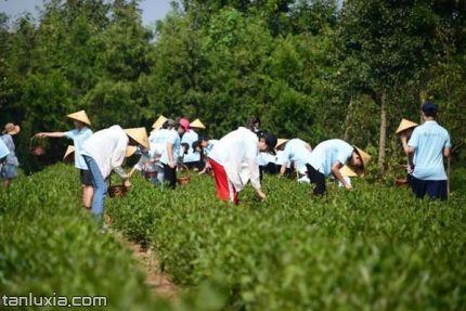 即墨瑞草園景點:茶葉采摘