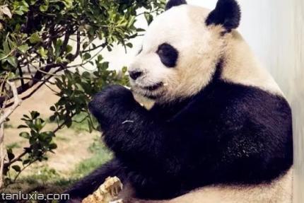 青岛动物园景点:熊猫馆