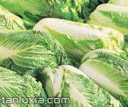 胶州大白菜