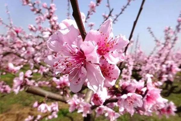 春花浪漫时登虎峰桃花山 赏千亩桃花